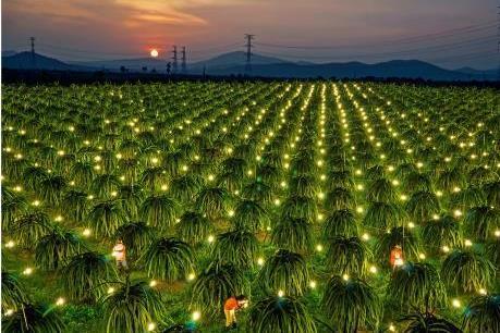 Ứng dụng đèn led và compact đỏ điều khiển thanh long ra hoa trái vụ 