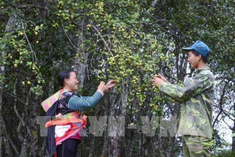 Mùa táo mèo trên đỉnh đèo Pha Đin