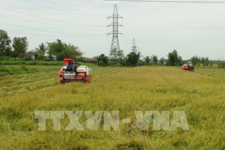 Năng suất tăng nhưng sản lượng lúa Hè Thu vẫn giảm