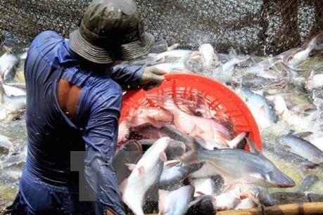 Hoa Kỳ giảm thuế chống bán phá giá đối với cá tra và basa của Việt Nam