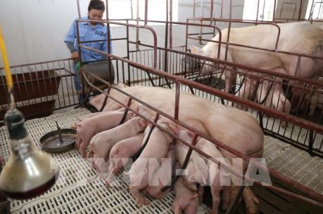 Cục Chăn nuôi khuyến cáo về dịch tả lợn châu Phi