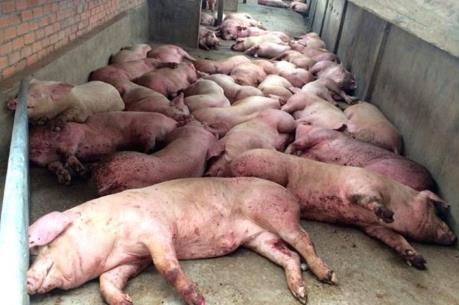 Ngăn chặn nguy cơ xâm nhiễm bệnh dịch tả lợn châu Phi vào Việt Nam
