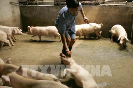 FAO cảnh báo dịch cúm lợn châu Phi sẽ ảnh hưởng tới các nước châu Á