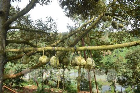 Vụ sầu riêng năm nay được mùa ở Đắk Lắk