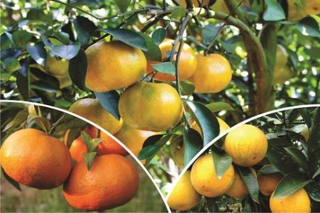 Sắp có Lễ hội cây ăn quả có múi và Hội chợ nông nghiệp tỉnh Hòa Bình