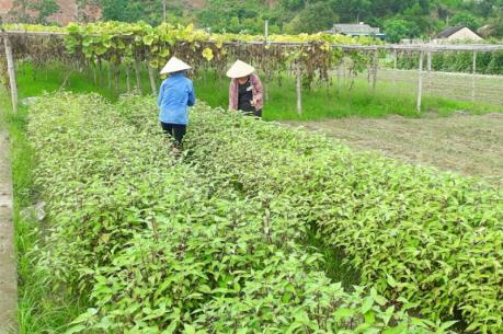 HTX Rừng Thông mở rộng quy mô sản xuất theo nhu cầu thị trường