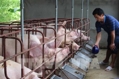 Giá lợn giống tại Bạc Liêu tăng mạnh, cung vẫn không đủ cầu