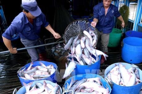 Cá tra Việt Nam: Cơ hội rộng mở nhưng không được chủ quan