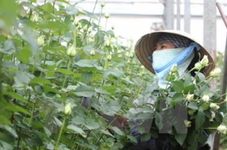 Giá hoa hồng Đà Lạt bất ngờ tăng cao 2-3 lần
