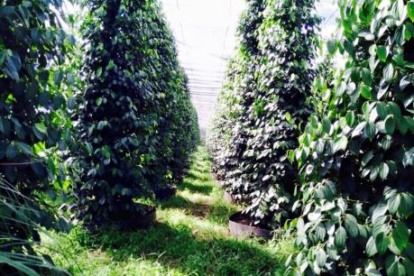 Hồ tiêu của HTX nông nghiệp Lâm San chứng nhận đạt chuẩn hữu cơ