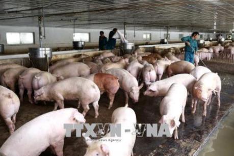 Cục Thú y: Nguy cơ xâm nhiễm dịch tả lợn châu Phi vào Việt Nam rất cao