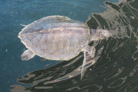 Phát hiện một cá thể rùa biển quý hiếm