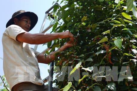 Cảnh báo: Ấn Độ có thể siết tiêu chuẩn với hồ tiêu nhập từ Việt Nam