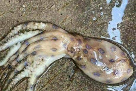 Thực hư thông tin xuất hiện loài mực cực độc ở Phú Quốc