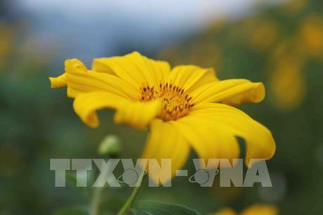 Hoa Dã quỳ nở rực trời Tây Bắc