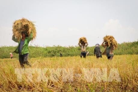 Giải quyết đầu ra ổn định cho sản xuất lúa gạo hàng hóa