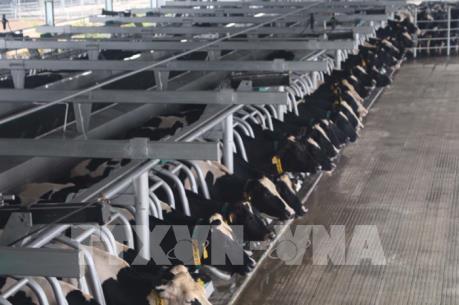 Dự án chăn nuôi 20.000 con bò sữa sẽ được triển khai tại Quảng Ninh