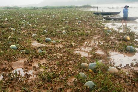 """Dưa hấu Tết ngập nước, nông dân bỗng rơi cảnh """"trắng tay"""""""