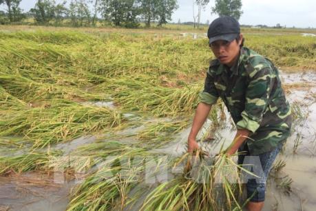Giá lúa giảm mạnh, nông dân Bạc Liêu đứng ngồi không yên