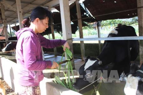 Bị nợ tiền, nhiều nông dân phải bán tháo đàn bò sữa