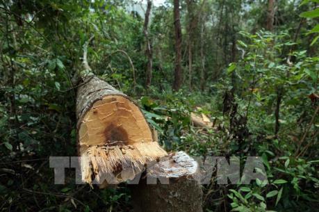Vụ phá rừng già Nà Pen, Điện Biên: Kiểm lâm phản hồi thông tin TTXVN đưa