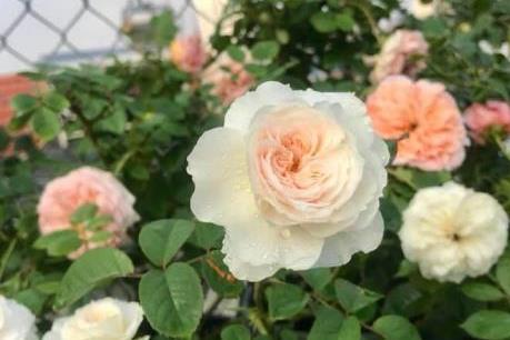 Người sở hữu vườn hồng thơm ngát trên sân thượng ở Hà Nội