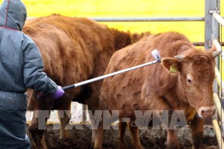 Hàn Quốc đóng cửa chợ gia súc 3 tuần do dịch lở mồm long móng