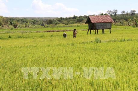 Cần Thơ: Giá lúa xuống thấp và tiêu thụ chậm