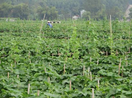 Su su là nông sản thế mạnh trong chương trình OCOP Vĩnh Phúc