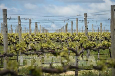 Australia thông qua thỏa thuận về xuất khẩu rượu vang sang Anh