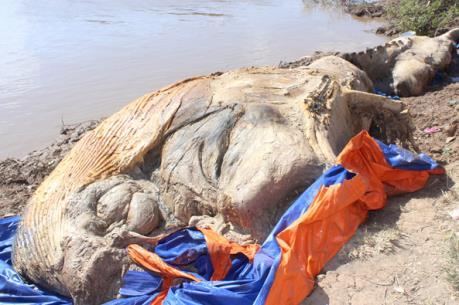 Xác cá voi 10 tấn trôi vào vùng biển Bạc Liêu
