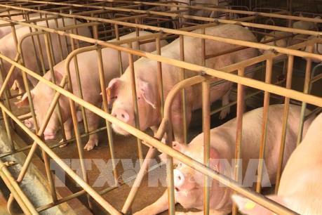Dấu hiệu nhận biết thịt lợn mắc bệnh tả lợn châu Phi