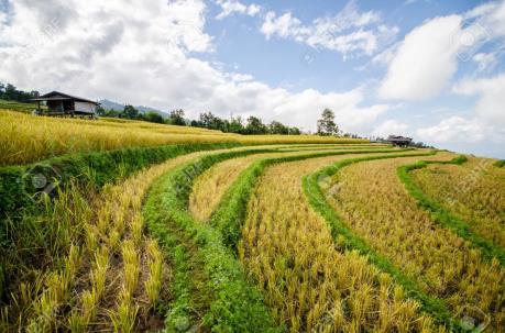 Thái Lan chuẩn bị thông qua Luật Lúa gạo