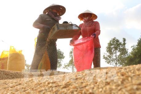Giá lúa Đông Xuân tại Kiên Giang giảm thấp