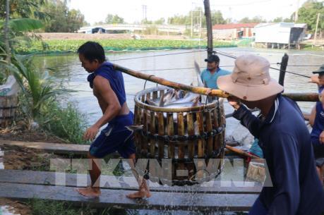 Doanh nghiệp Đồng Tháp liên kết nuôi cá tra với nông dân