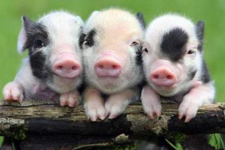 Công văn hỏa tốc về kiểm soát buôn bán vận chuyển lợn cảnh