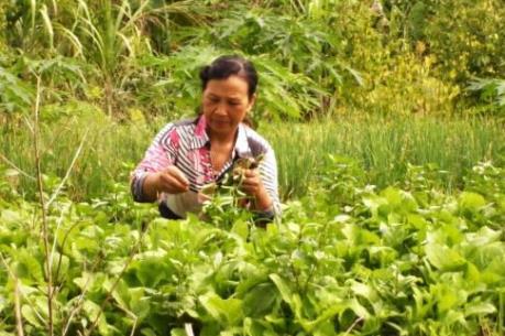 Thu nhập từ trồng rau màu cao gấp bốn lần trồng lúa