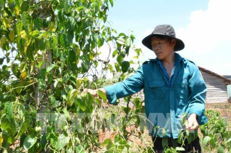 Đắk Lắk: Người trồng sachi gặp khó khăn khi giá xuống thấp