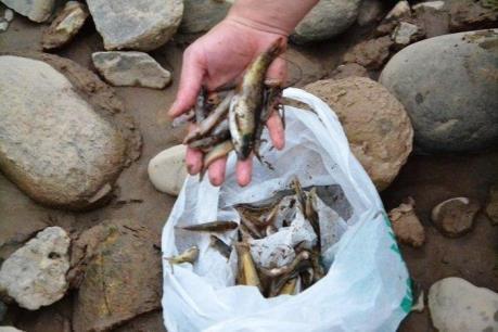 Cá chết bất thường trên sông Hồng đoạn qua Lào Cai