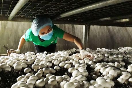 Khánh Hòa phát triển nấm hữu cơ thành cây chủ lực