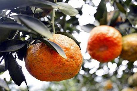 Thực hư thông tin vườn cam của người dân ở Hàm Yên bị đốt cháy?