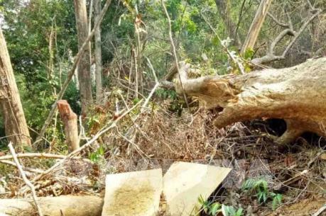 Hơn 50m3 gỗ bị đốn hạ tại khu vực rừng giáp ranh