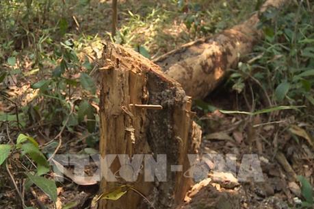 Rừng chết dần do người dân ồ ạt bóc trộm vỏ cây thông bán kiếm tiền