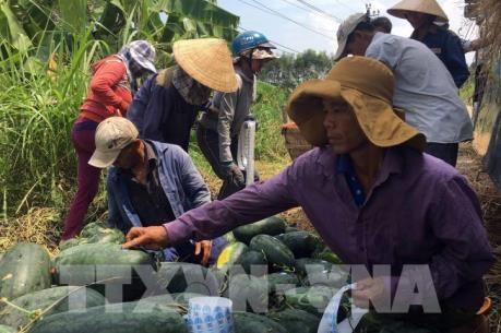 Quảng Nam lo việc tiêu thụ dưa hấu phải dùng tem truy xuất nước ngoài