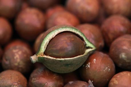 Hạt mắc ca Lâm Đồng đặt chân vào thị trường Hàn Quốc, Singapore