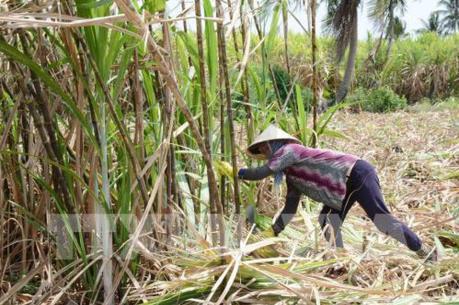 Liên tục thua lỗ, hàng trăm hộ trồng mía ở Trà Vinh không tái vụ