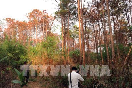 Ngàn cây thông rừng gần 20 năm tuổi chết đứng vì bị hạ độc