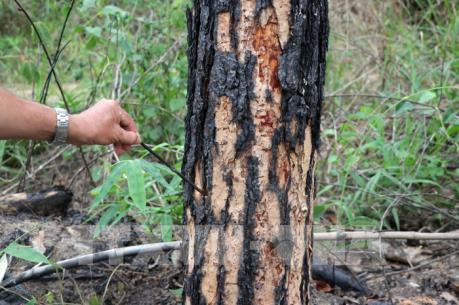 Phát hiện 427 cây thông 3 lá bị hạ độc tại Lâm Đồng