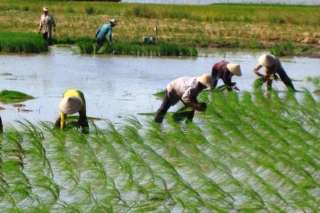 Khuyến cáo nông dân nắm bắt nhu cầu sử dụng lúa của thị trường để chọn giống
