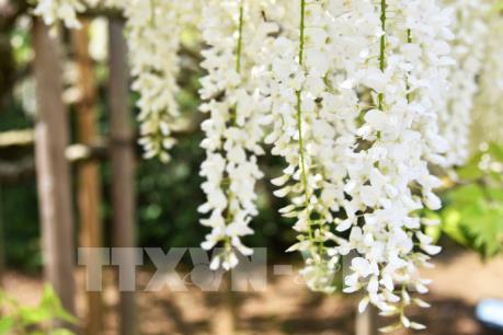 Ngắm hoa Tử Đằng lộng lẫy tại Nhật Bản